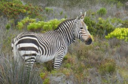 Cape Point Zebra