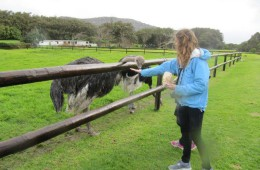 Feeding ostriches at Cape Ostrich farm