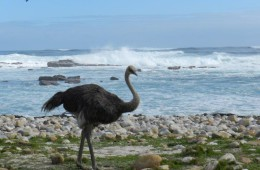 female ostrich at cape of Good Hope