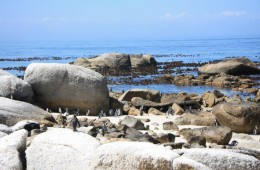 penguins Boulders beach 3