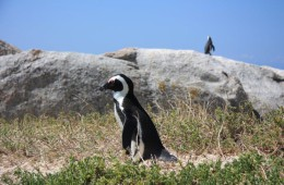 Penguin at Boulders beach