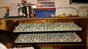 Incubators for the duck eggs