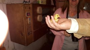 Newly hatched duck