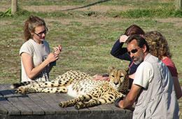 'Cheetahs