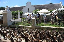'Duck Parade at Vergenoegd
