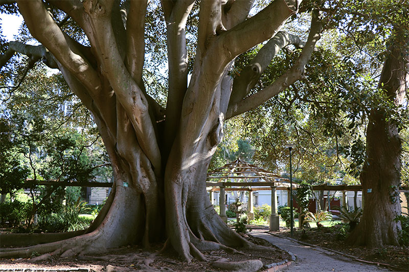 Giant rubber tree